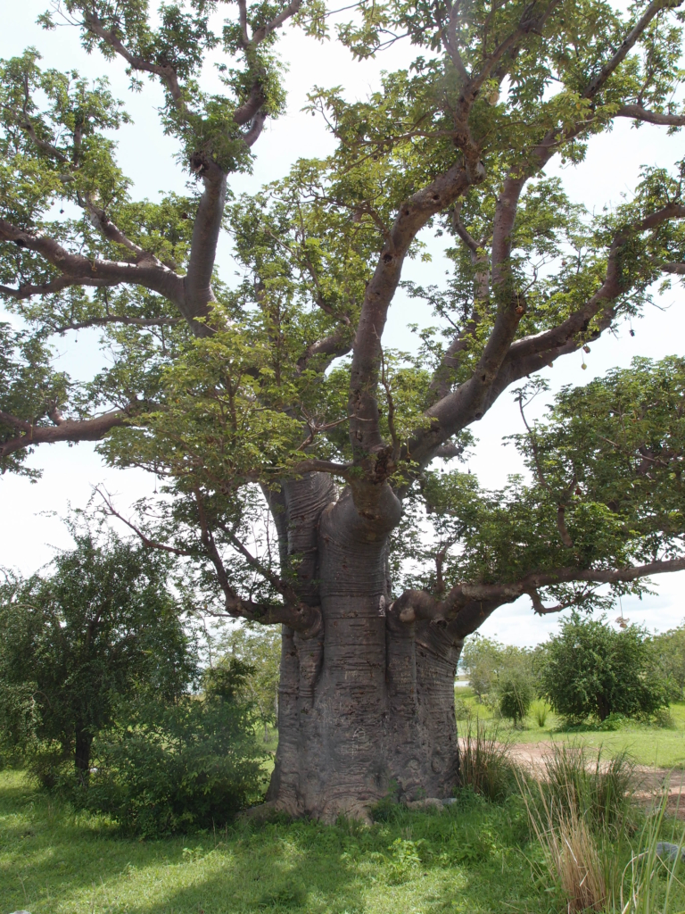 The baobab tree: The majestic tree of life in the dry Savannah