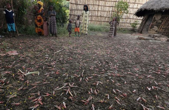 Swelled by rain and COVID curbs, locust swarms ravage Ethiopia