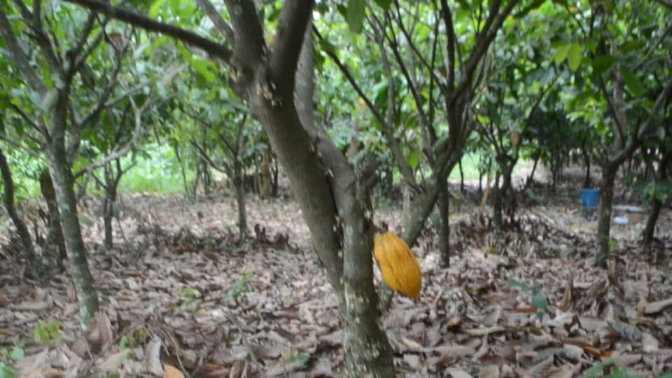Nestor Kafui Adjomah: Flaws in Cocoa inputs supply and application; a threat to sustainability of cocoa industry