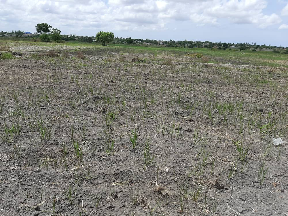 Danger looms as drought hits rice production in Volta Region