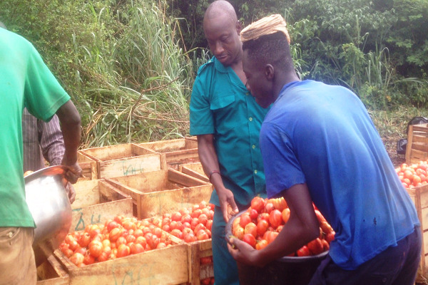 Tomato farmers urge government to assist CSIR develop new tomato varieties