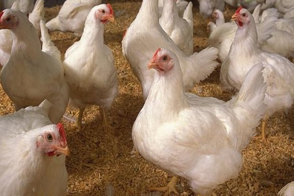 GARDJA petitions MoFA to salvage ailing poultry sector