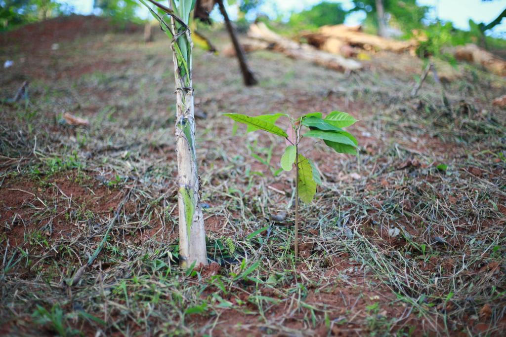 National Cocoa Rehabilitation Programme in limbo - Farmers tell GARDJA