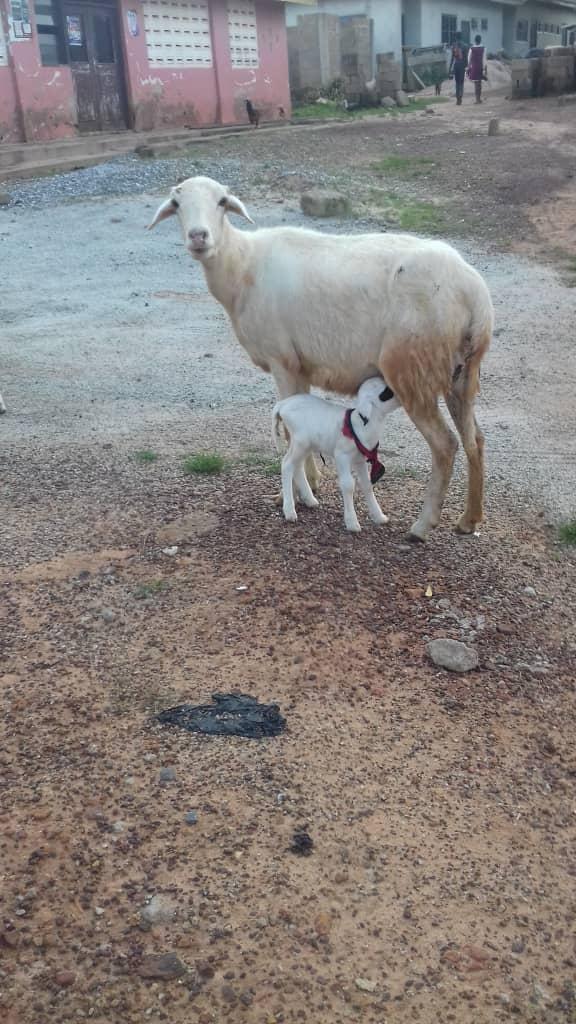 'Cyclops' lamb born in Ashanti Region